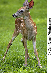 Deer fawn - whitetail deer fawn that is in the sun on a...