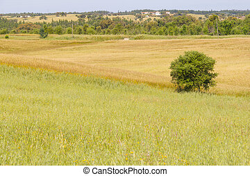 Farm field with wheal plantation and trees in Vale Seco,...