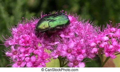 Green beetle (cetonia aurata) and japanese meadowsweet in...
