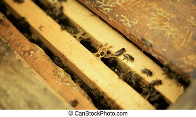 Bees prepare honey, work, in an open beehive with wooden racks with wax combs.