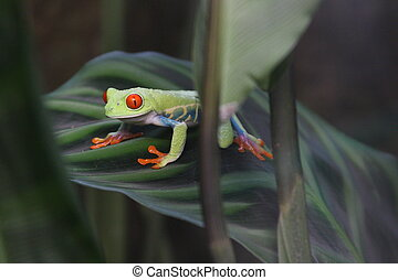 Red-eyed green tree frog crouching on his favorite leaf