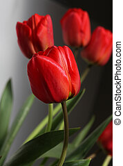 bouquet red tulips