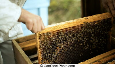 Beekeeper checks how the bees prepare honey work in beehive wooden racks waxen honeycombs Pulls out