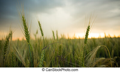 Spikelets of wheat in a field with grain, against a background of gray, blue, storm clouds, summer.