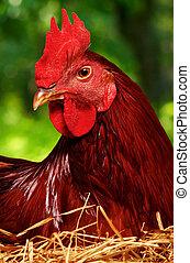 Hen on nest - Cute hen on a nest of straw