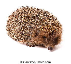 Hedgehog - Nice hedgehog animal isolated on white background
