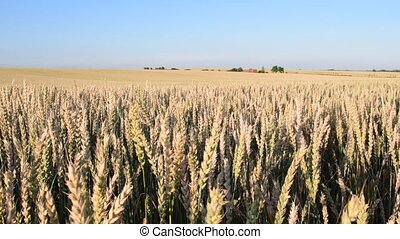 Summer landscape Panoramic view of corn field. Audio footage...