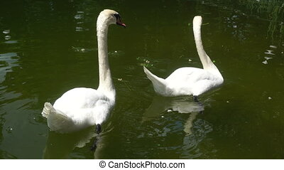 swans are eating in the Lake - two swans are eating in the...