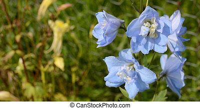 Light blue delphinium flowers