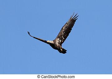 Sub-adult Bald Eagle (haliaeetus leucocephalus) in flight...