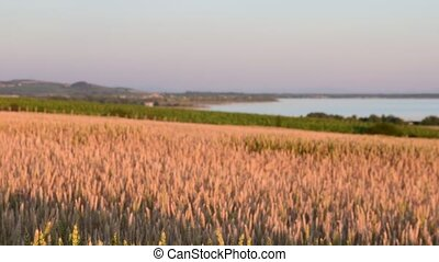Summer landscape Panoramic view of maize field. The...