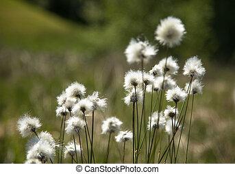 Cotton grass Eriophorum vaginatum in Norway