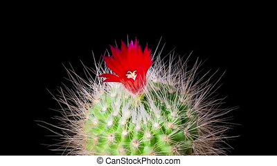 Time-Lapse of cactus flowers blooming - Time-Lapse of...
