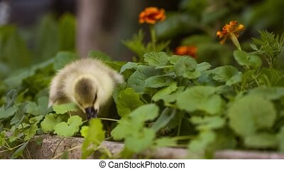 Cute gosling in green grass - Cute domestic gosling walking...