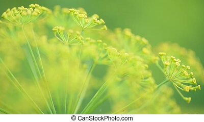 Dill flowers in garden - Close up yellow flowers of dill in...