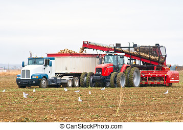A large tractor and semi-truck loading beets - A large...