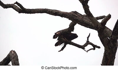 Big eagle over branch starting to fly in slow motion - Long...