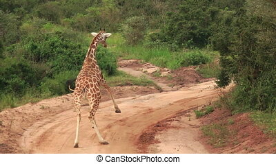 Giraffe running in super slow motion - Rear view of giraffe...