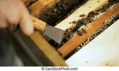 Beekeeper checks how the bees prepare honey work in beehive wooden racks waxen honeycombs Pulls out