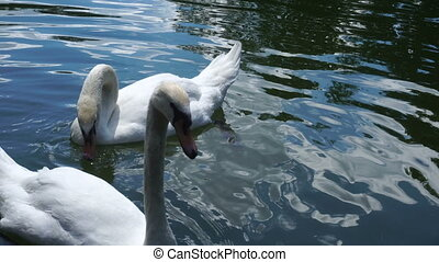 white swans on the pond