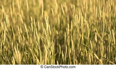 Field of wheat and sun - Summer nature field wheat Ukraine