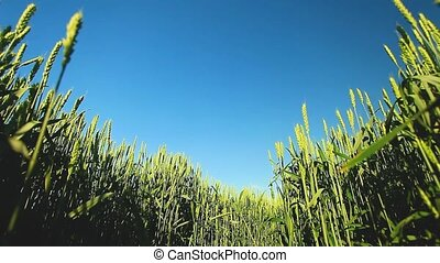 Young wheat in a field panorama