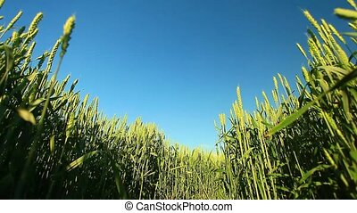 Green wheat blue sky - Young Wheat Sprouts Growing in the...