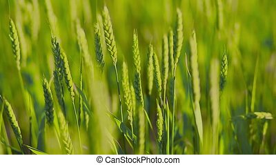Young wheat in a field panorama - Panorama of green field...