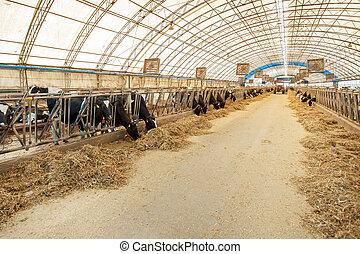 工業, 吃, 農場, -, 牧群, cowshed, 干草, 概念, 奶制品, 動物, 母牛, 務農, 農業, 節儉