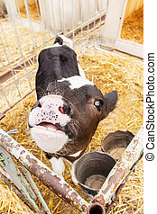 A little cow puts head across the fence, waiting for food. -...