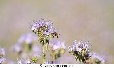 Blossom phacelia flowers and bees pollinate