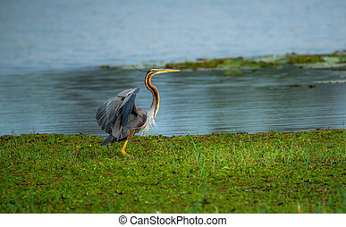 Puple Heron about to take off - A puple heron opening his...