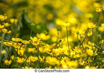 blooming flower in spring, buttercup, crowfoot, ranunculus.