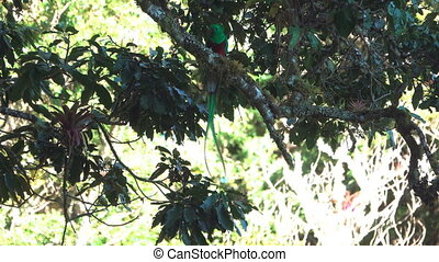 Quetzal bird with bug in beak over tree branch - Long shot...