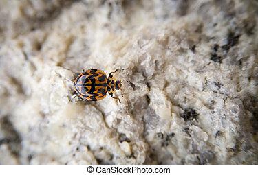 Lady Bug - Lady bug crawling on rock