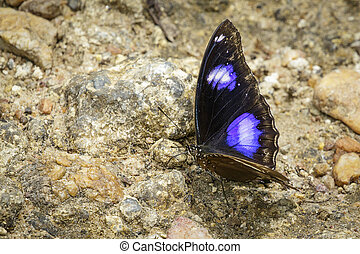 Image of Male Danaid Eggfly Butterfly on nature background....