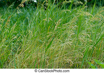 wild meadow grass fiels background - wild meadow grass fiels...