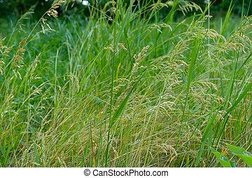 wild meadow grass fiels background - wild meadow grass fiels...