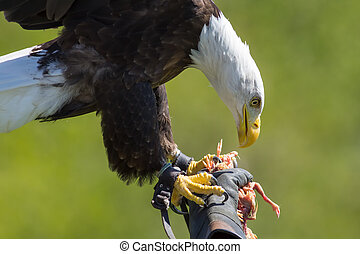 Falconry. American bald eagle on a falconer's glove at bird of prey display.