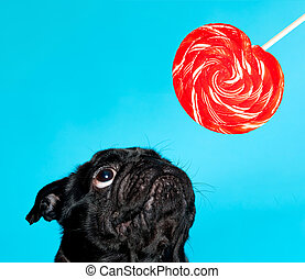 Black pug with lollypop on a blue background