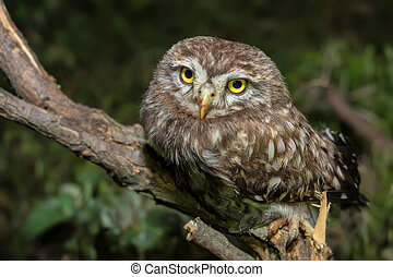 Little owl or Athene noctua perched on branch against a dark...