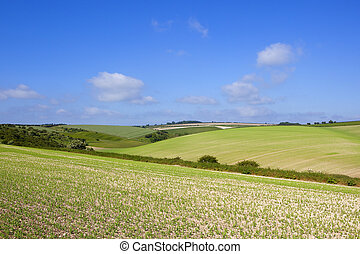 yorkshire wolds pea crop - scenic rolling hills in the...