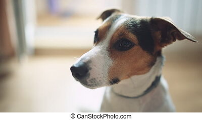 Dog looks interested in the camera. - Small dog breed Jack...