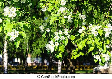 Apple blossom, summer season in Russia photo