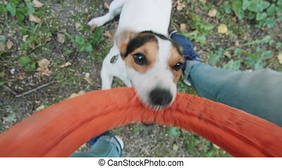 Dog plays with his master with the ring. - Small dog breed...