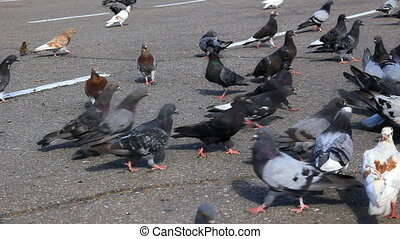 HD Pigeons feed on the sidewalk