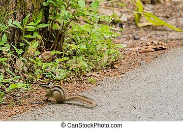 Chipmunk looking for food