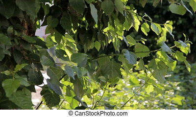 HD Green leaves of poplar swaying in the wind