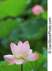 the lotus and leaf at rain day - shing mun valley park at...