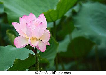 beautiful pink lotus flower,and lotus flower bud - shing mun...